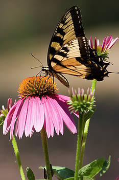 Jill Lang - Butterfly on Cone Flowers