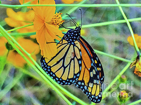 Butterfly on Cosmo by Dragonfleyes Photography and Creations