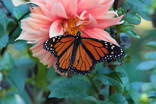 Butterfly on Dahlia by John Moyer