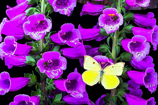 Butterfly On Foxglove by Garry Gay
