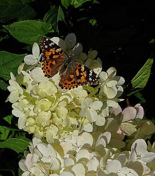 Butterfly on Hydrangea by Ronda Ryan