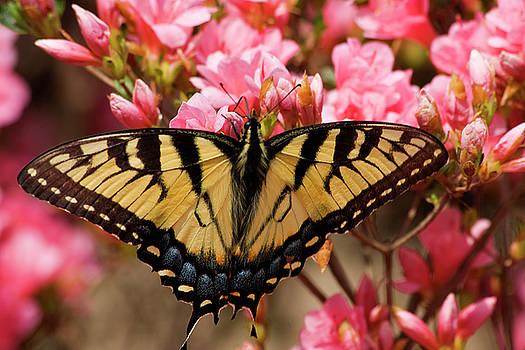 Jill Lang - Butterfly on Pink Azaleas