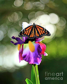 Butterfly on Purple Iris Photo by Luana K Perez