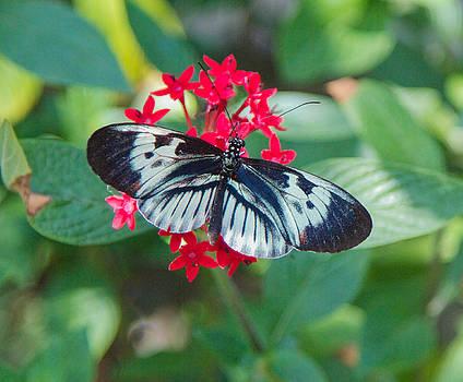 Dee Carpenter - Butterfly on Red Flower