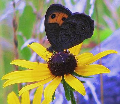 Butterfly on Rudbeckia by Angela Davies