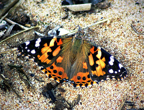 Butterfly On Sand by Brian Wallace