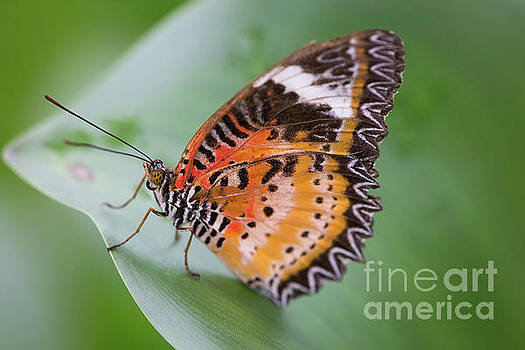 Butterfly on the Edge of Leaf by John Wadleigh