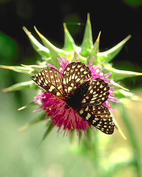 Butterfly on Thistle by Art Shimamura