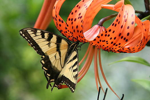 Butterfly on Tigerlily by Wendy Munandi