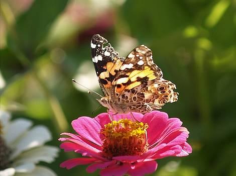 butterfly on Zinnia by Martha Boyle