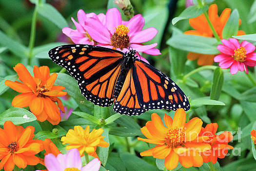 Butterfly on Zinnias by Jill Lang