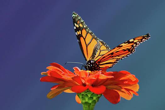 Nikolyn McDonald - Butterfly Pause