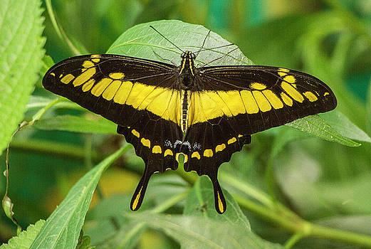 Venetia Featherstone-Witty - Butterfly  Protographium thyastes, Ecuador