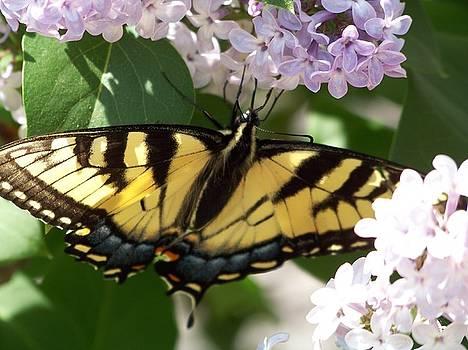 Butterfly by Sherri Ward