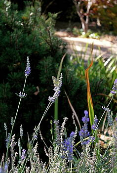 Butterfly's Last Lavender by Michele Myers