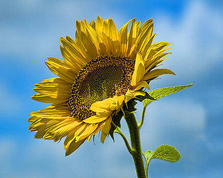Edward Sobuta - Buttonwood Sunflower 2