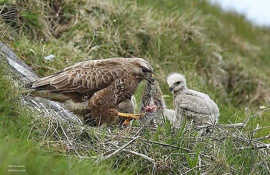 Buzzard with Chicks  by Dean Eades