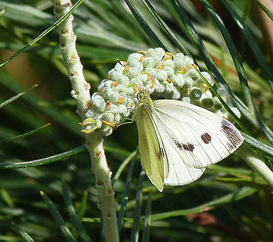 Cabbage White Butterfly Enjoying Nectar by Margaret Saheed