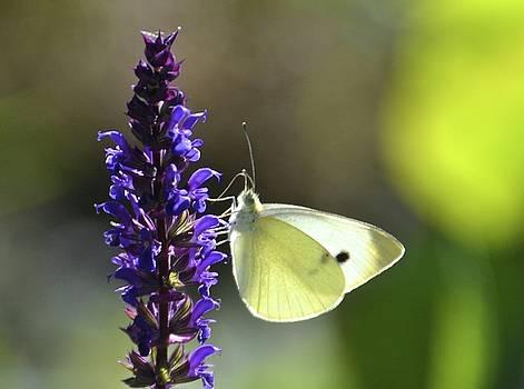 Cabbage White Butterfly by Lorelei Galardi