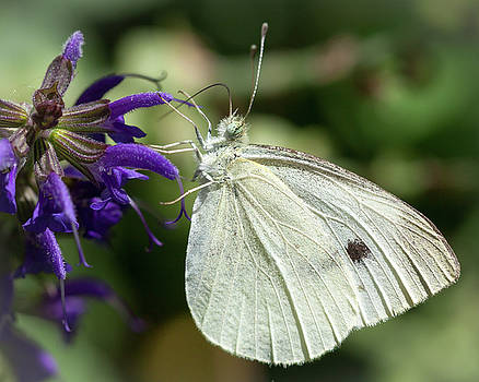 Cabbage White Butterfly Macro by Deb Henman