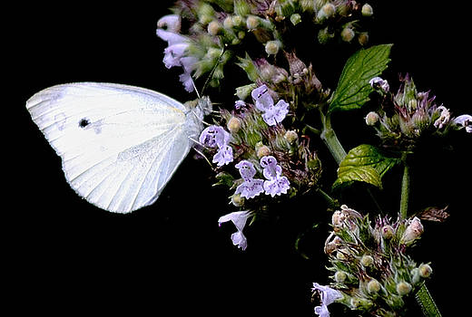 Cabbage White on Catnip by Randy Bodkins