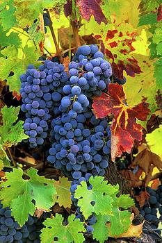 Cabernet Sauvignon Grapes by Greg Vaughn