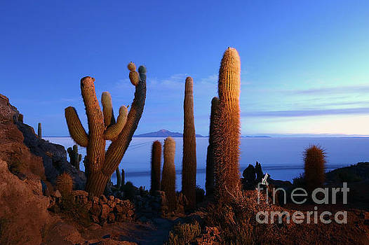 Cacti at First Light Incahuasi Island Bolivia by James Brunker