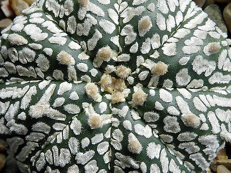 Cactus 1 by Selena Boron