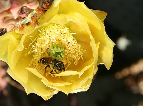 Cactus Bee 2 by Marna Edwards Flavell