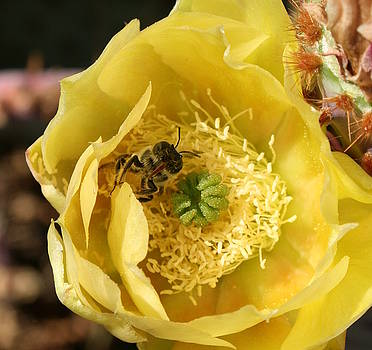 Cactus Bee 3 by Marna Edwards Flavell