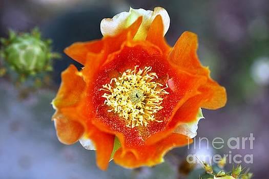 Cactus Bloom 2 by Patricia Alexander