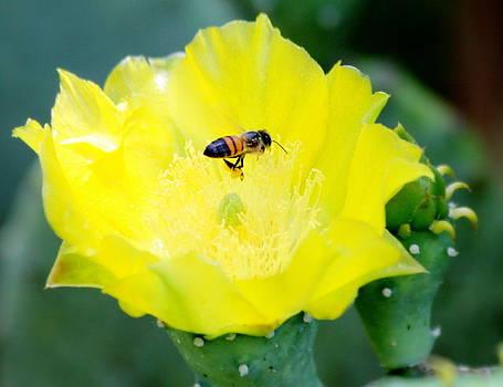 Cactus bloom and bee by Billie Earley