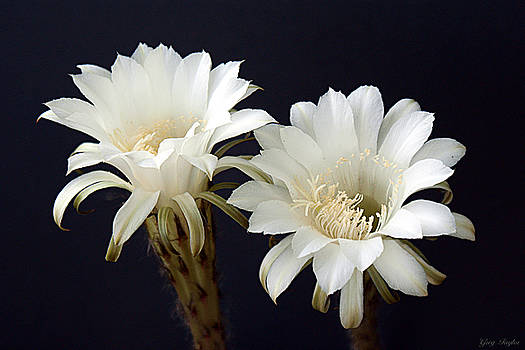 Cactus Bloom Duo by Greg Taylor