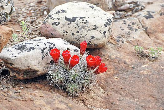Cactus Bloom by Jennifer Kelly