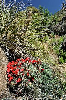 Crimson Barrel Cactus by Ron Cline