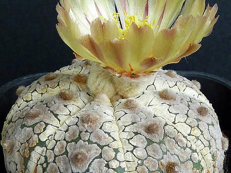 Cactus Flower 1 by Selena Boron