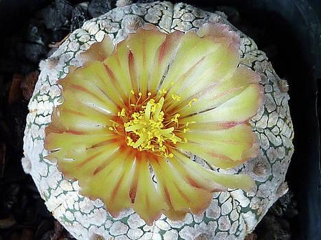 Cactus Flower 2 by Selena Boron