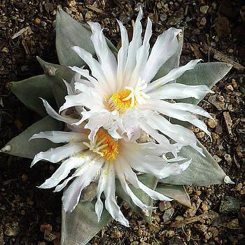 Cactus Flower 7 by Selena Boron