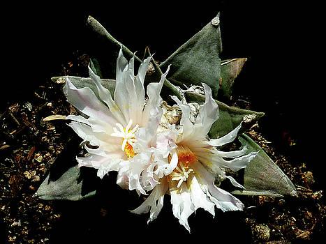 Cactus Flower 9 2 by Selena Boron