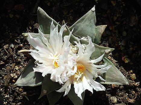 Cactus Flower 9 by Selena Boron
