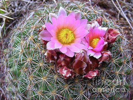 Cactus Flower  by Alan Johnson