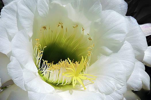Cactus Flower by Grace Dillon