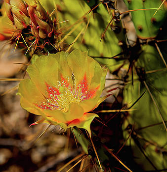 Cactus Flower by Kenneth Eis