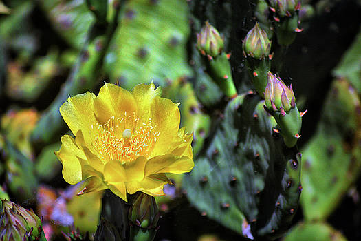 Cactus Flower Opuntia humifusa on Burton's Island by Bill Swartwout