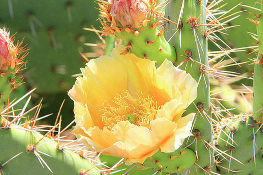 Cactus Flower by Shoal Hollingsworth