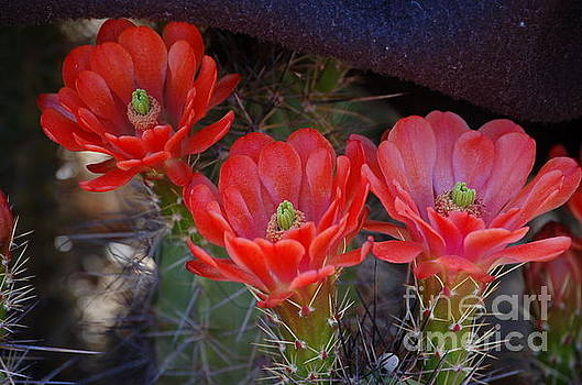 Cactus Flowers by Frank Stallone