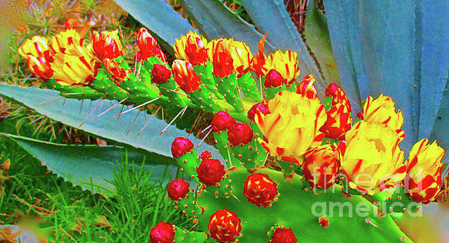 Prickly Pear Cactus Flowers by Jerome Stumphauzer
