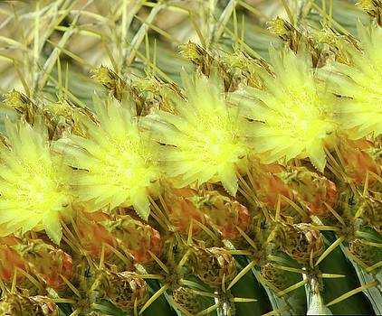 Cactus Flowers by Kathy Bassett