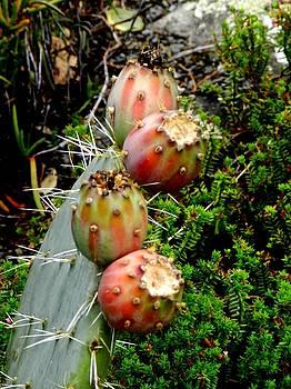 Cactus flowers by Sandra Sengstock-Miller