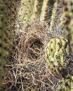 Cactus Wren Nesting-IMG_407518 by Rosemary Woods-Desert Rose Images